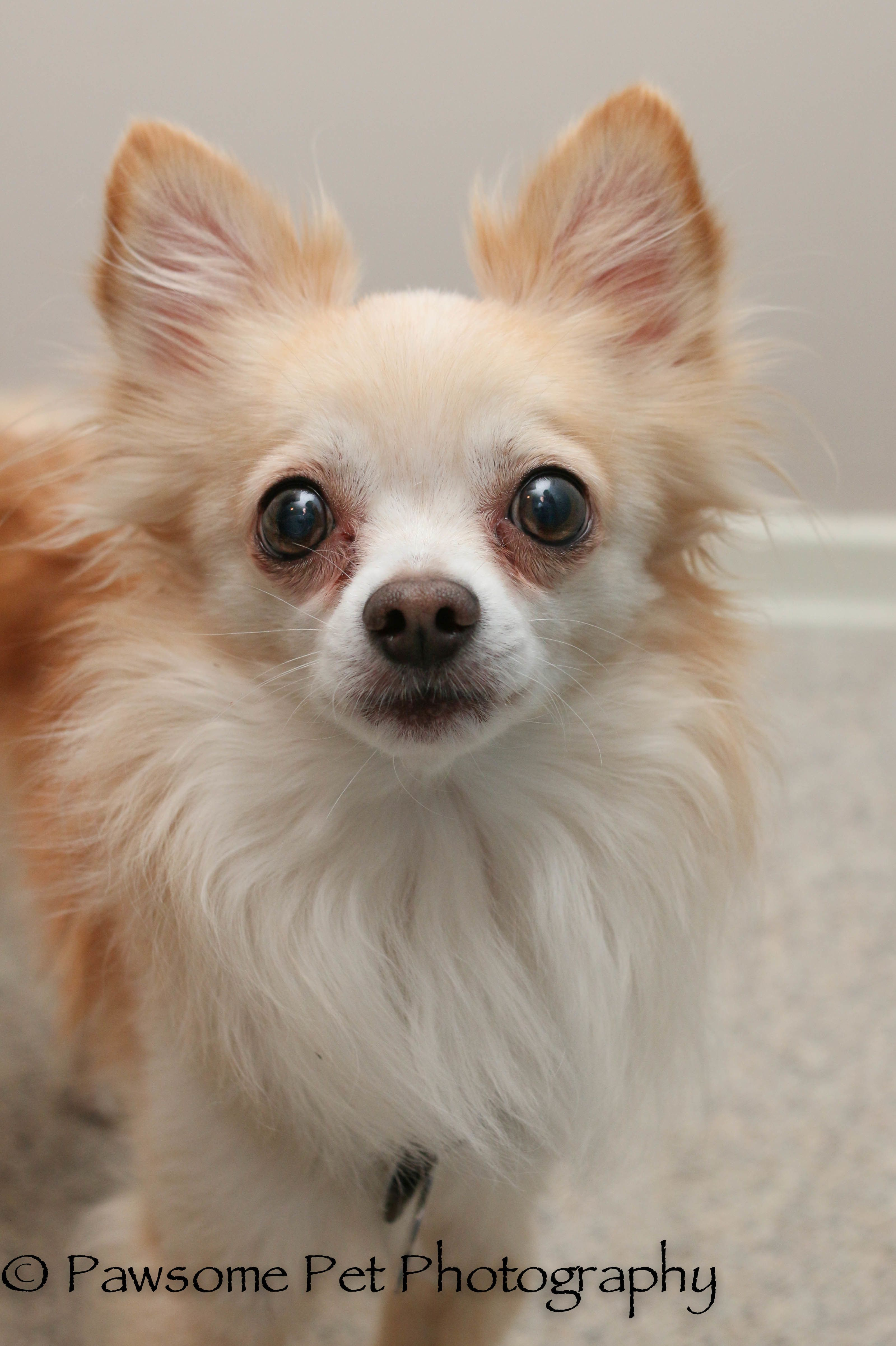 Adopt Pierre Adoption Pending On Chihuahua Rescue Chihuahuas