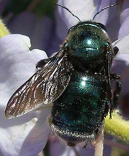 Female Metallic Green Carpenter Bee With Images Bee