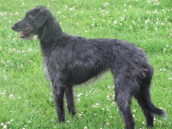 Lurcher Bedlington Terrier X Whippet Cross A Lurcher Is A Cross Between A Sighthound Bedlington Whippet Dog Crossbreeds Lurcher