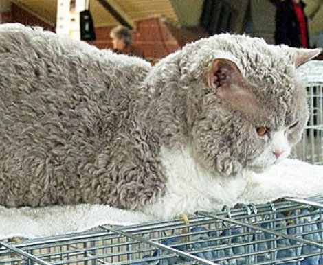Poodle Cats Are New Breed Researchers Say Known As Selkirk Rex