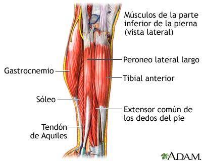 El tibial anterior: un músculo que debemos recordar al trabajar la ...