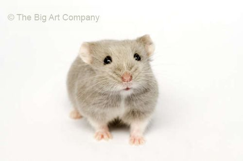 Why It Is Always Hard To Say No To Dwarf Hamsters Dwarf Hamster Russian Dwarf Hamster Hamster