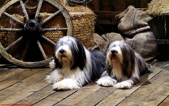 Pin By Natalie Lyon On Cute Animals Cute Dog Wallpaper Bearded Collie Bearded Collie Puppies