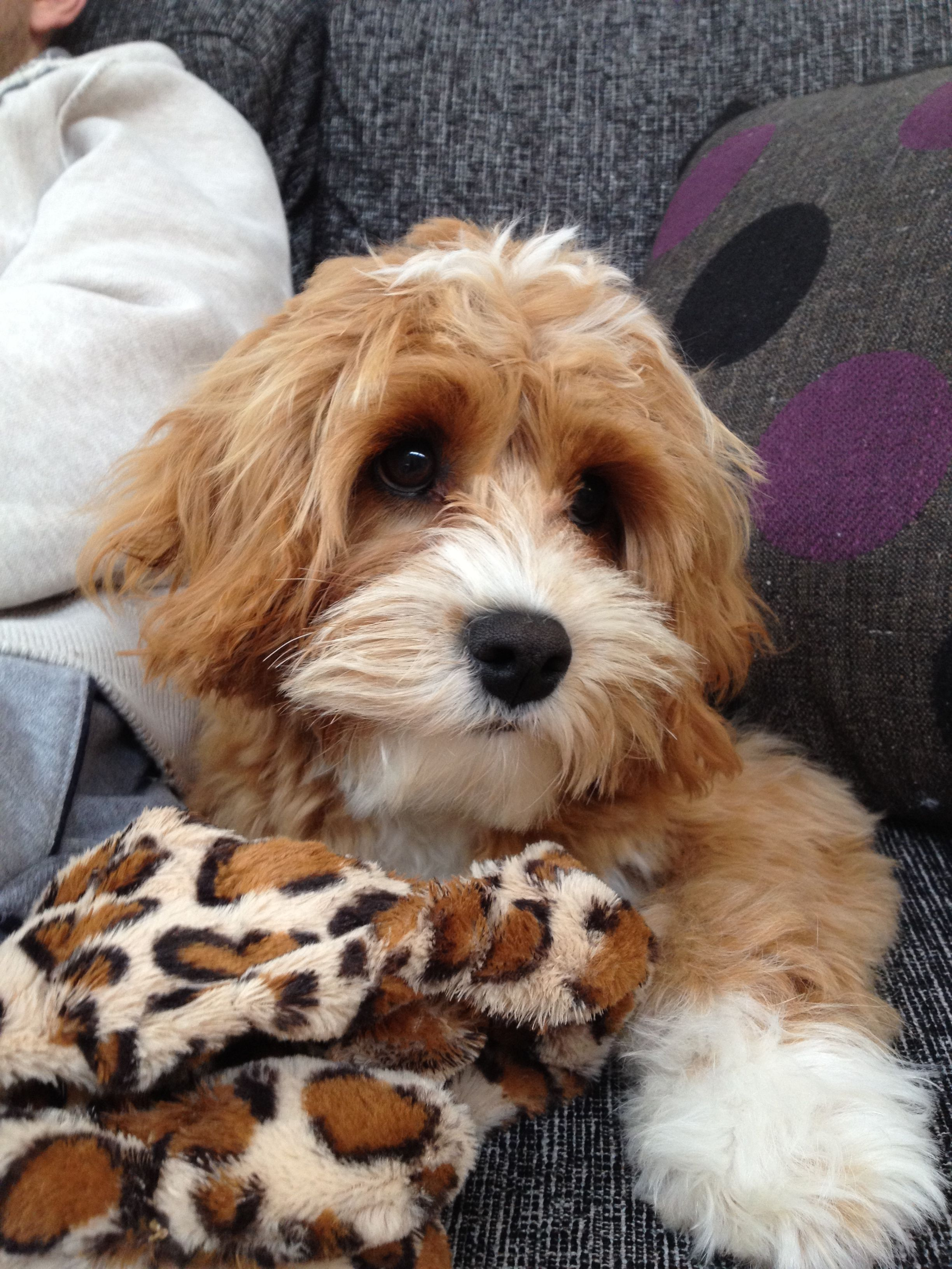 Pin By Ray Noell On Animals Cute Dog Mixes Cavoodle Dog Cavapoo