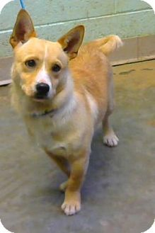 Decatur Ga Pembroke Welsh Corgi Chihuahua Mix Meet Skamp A