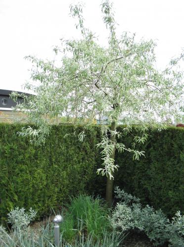 pyrus salicifolia 39 pendula 39 wilgbladige peer trees. Black Bedroom Furniture Sets. Home Design Ideas