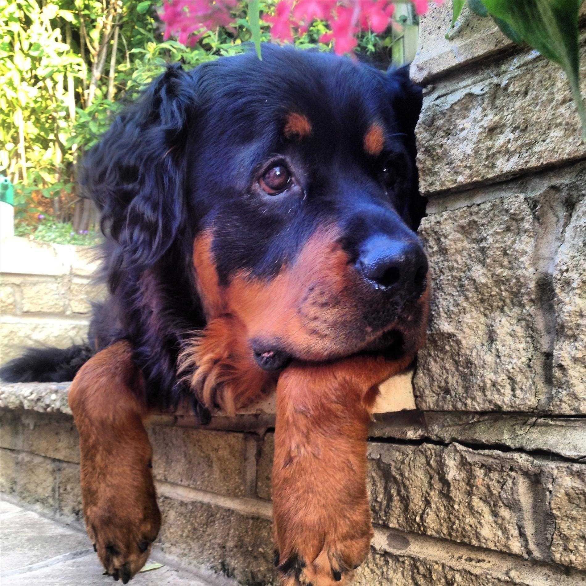 Breed Dogs Allmuttcom Gordon Setter Rottweiler Mix Pictures Of Breed Dogs Spockthedogcom Spockthedogcom Long Haired Rottweiler Rottweiler Mix Cute Puppy Photos