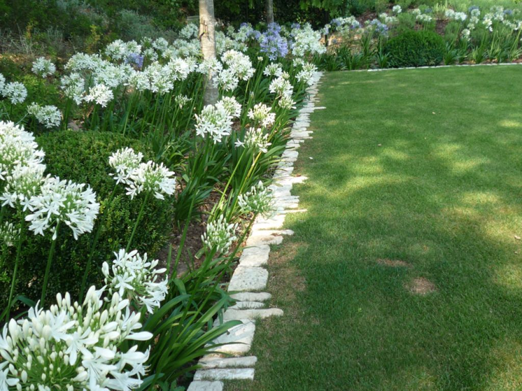 Stunning Agapanthus Plants For Your Garden Agapanthus Garden White Agapanthus Agapanthus Plant