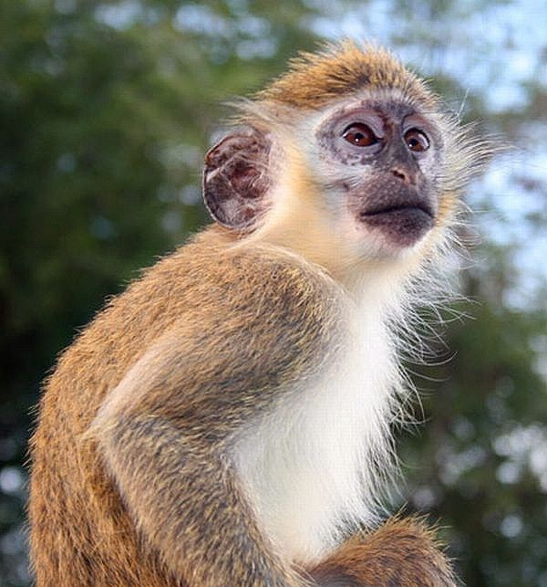 african monkeys - Google Search  Adorable!