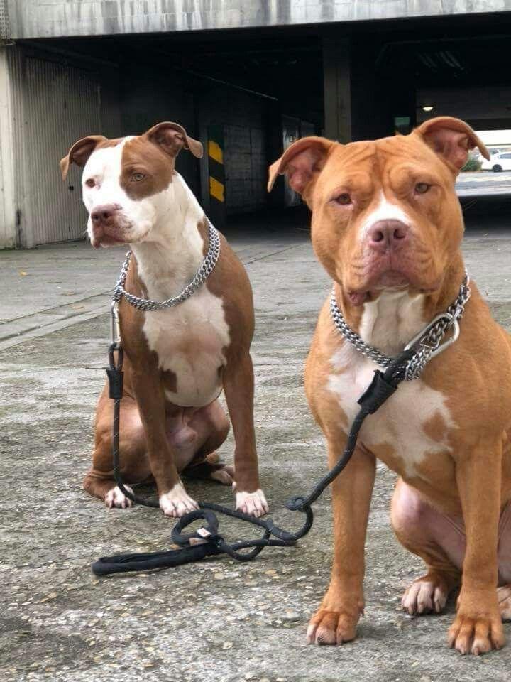 Best Names For Pitbull Dogs