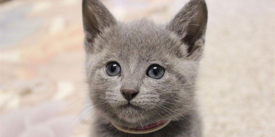 Russian Blue Price Personality Lifespan Russian Blue Kitten Russian Blue Cat Blue Cats