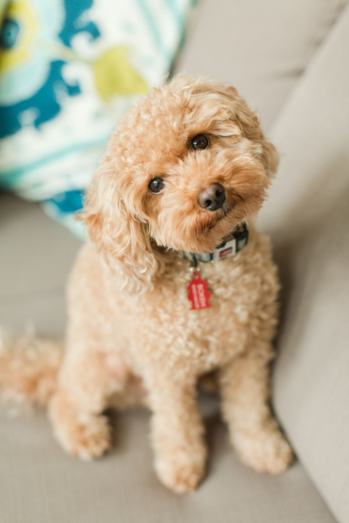 Pin By Nick Fawcett On Miniature Poodle Toy Poodle Haircut Teddy