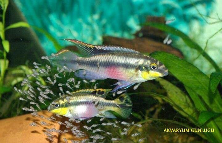 Pelvicachromis Pulcher Kribensis Freshwater Aquarium Aquarium Fish Tropical Fish