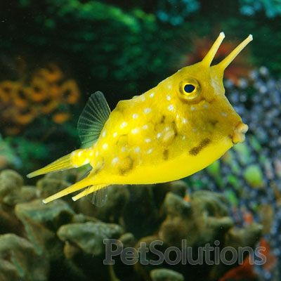 Longhorn Cowfish Saltwater Fish Tanks Cow Fish Saltwater Aquarium Fish