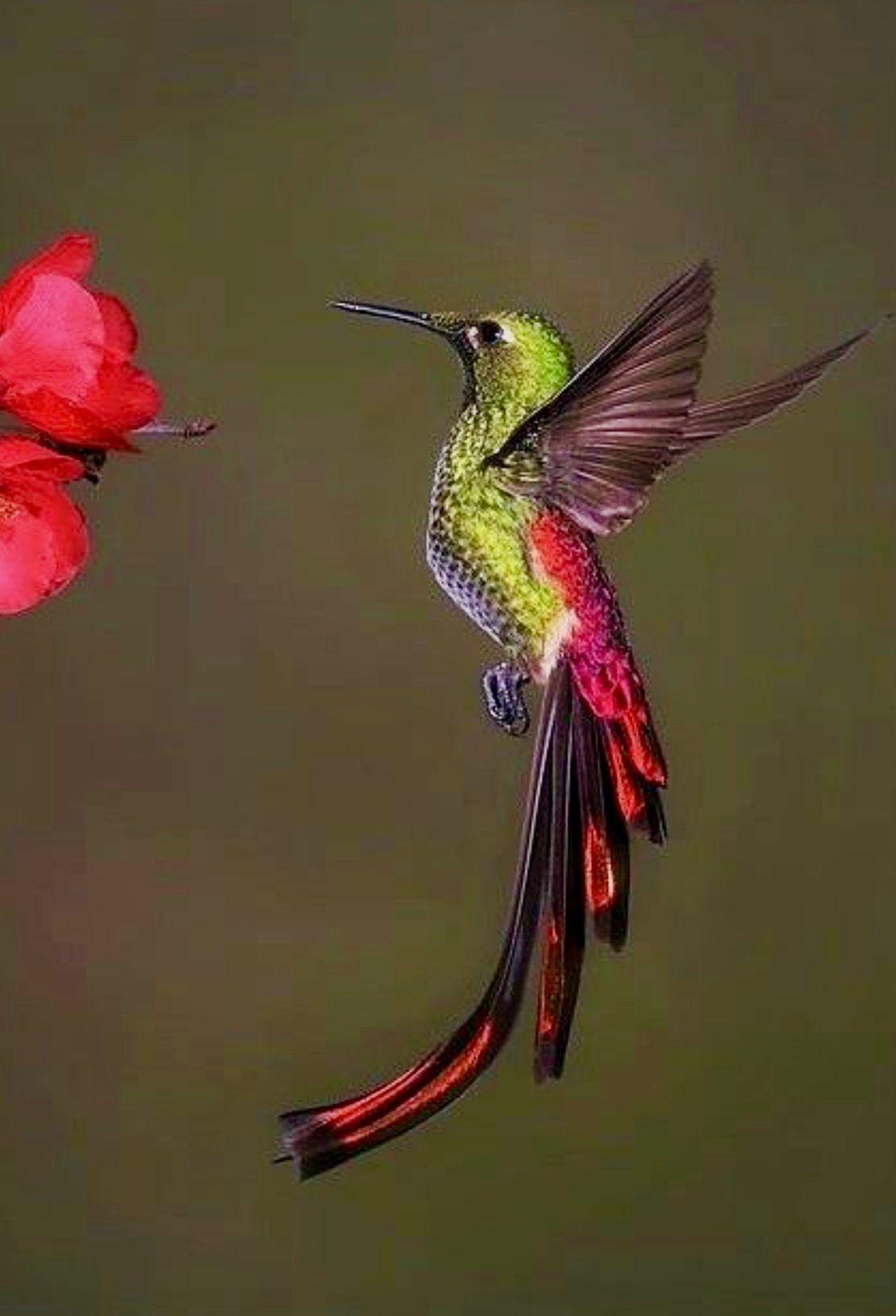 Large red hummingbird