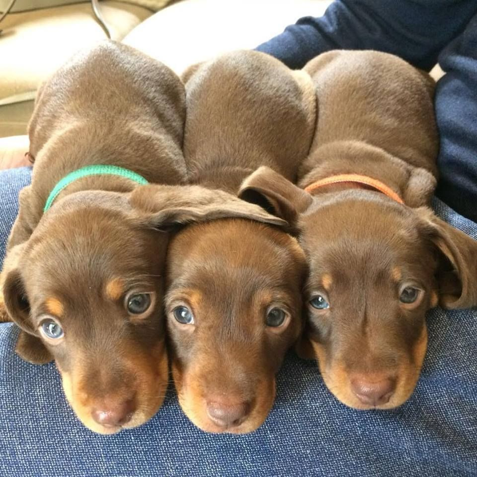 Cute Dachshund Puppies Sausage Dog Puppies Dachshund Puppies