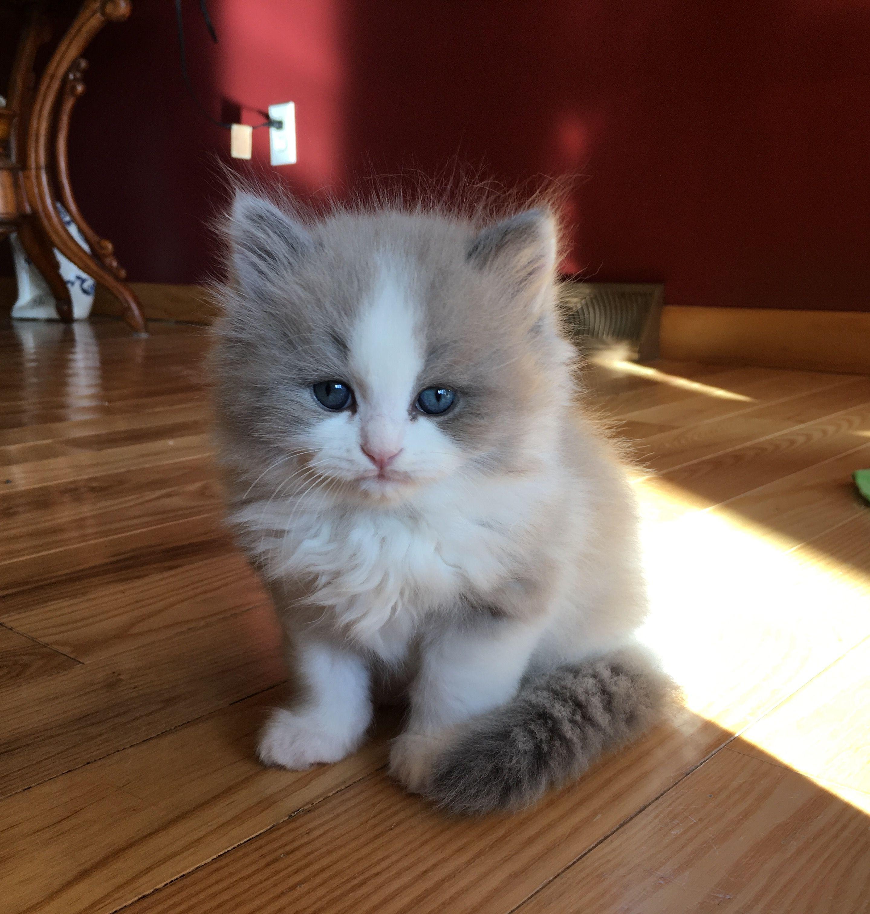 "RagaMuffin kitten ""Robbie"" of Sweetlilpaws Kitty"