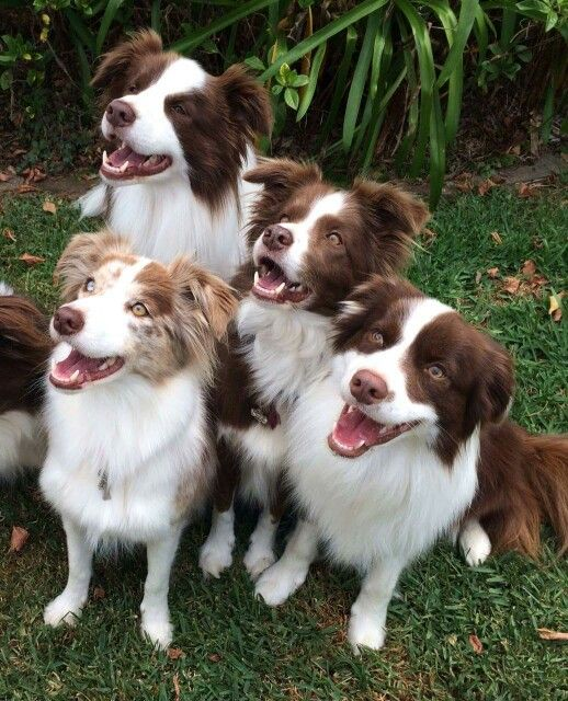 It's a pack o pups. | Collie puppies, Red border collie, Collie