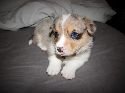 Litter Of 9 Welsh Cardigan Corgi Puppies For Sale In Milwaukee Wi