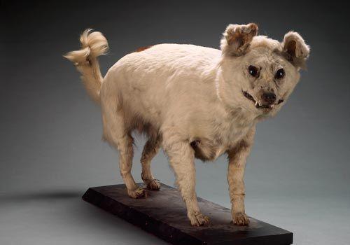 Kuri Dog Breeds