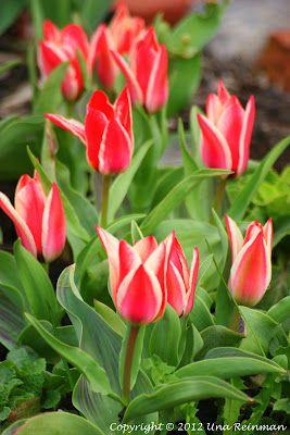 Tulips. Kirjavia tulppaaneja.