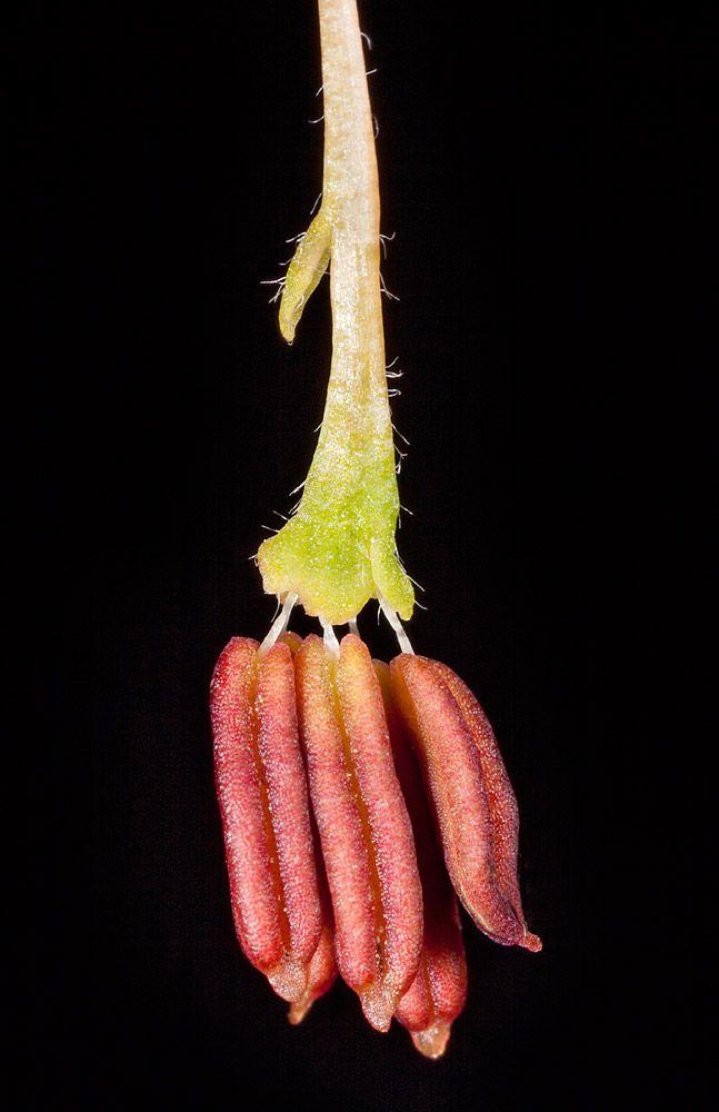 Flor Unisexual Masculina Acer Negundo Botanica