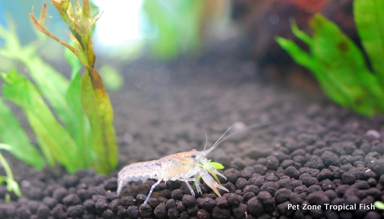 Vegetarian freshwater aquarium fish - Mexican Blue Dwarf Lobster Cpo This Is A Freshwater Lobster That Is Very Hardy