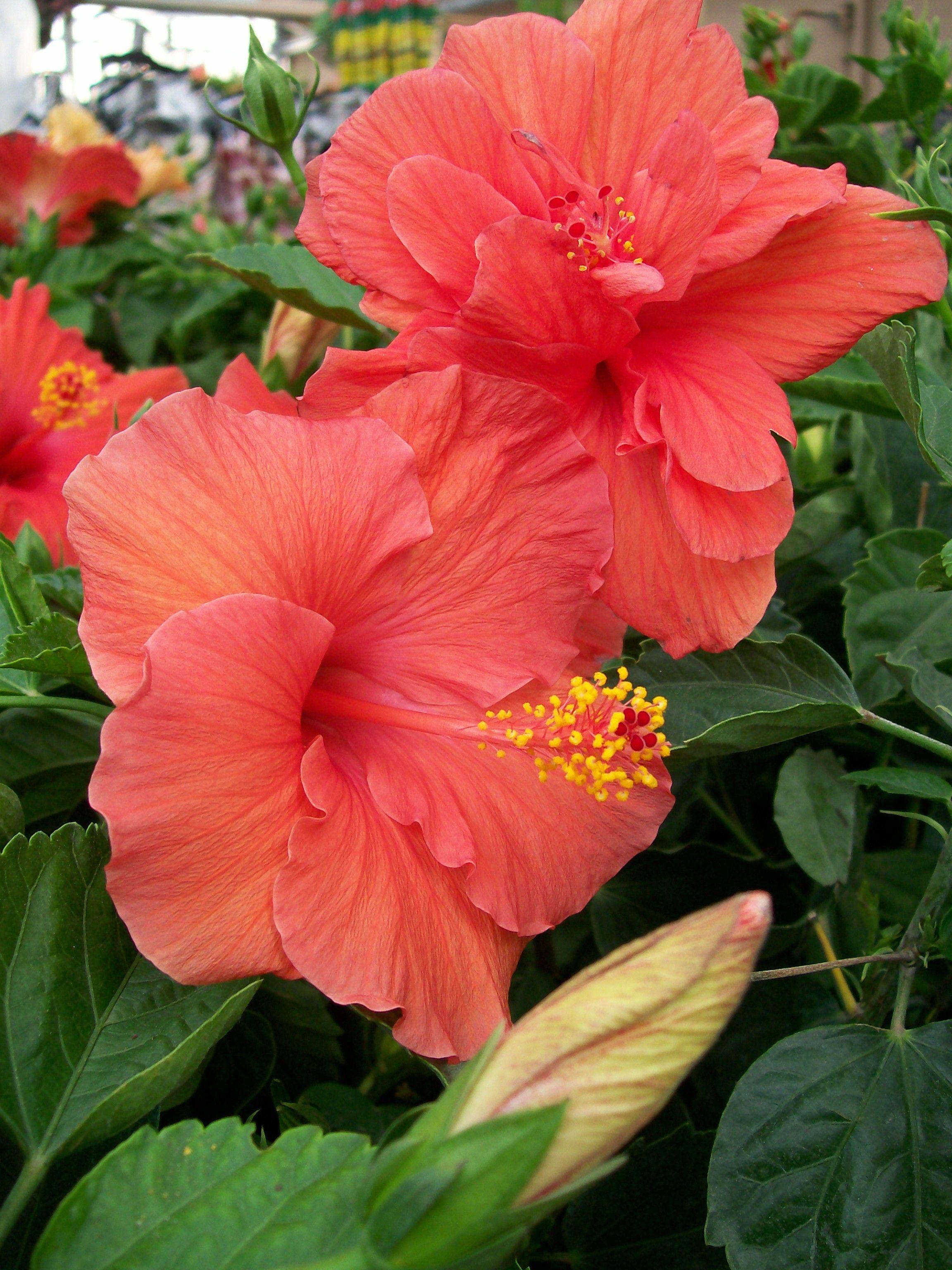 Hibiscus Blooms I Love Blooms Pinterest Hibiscus