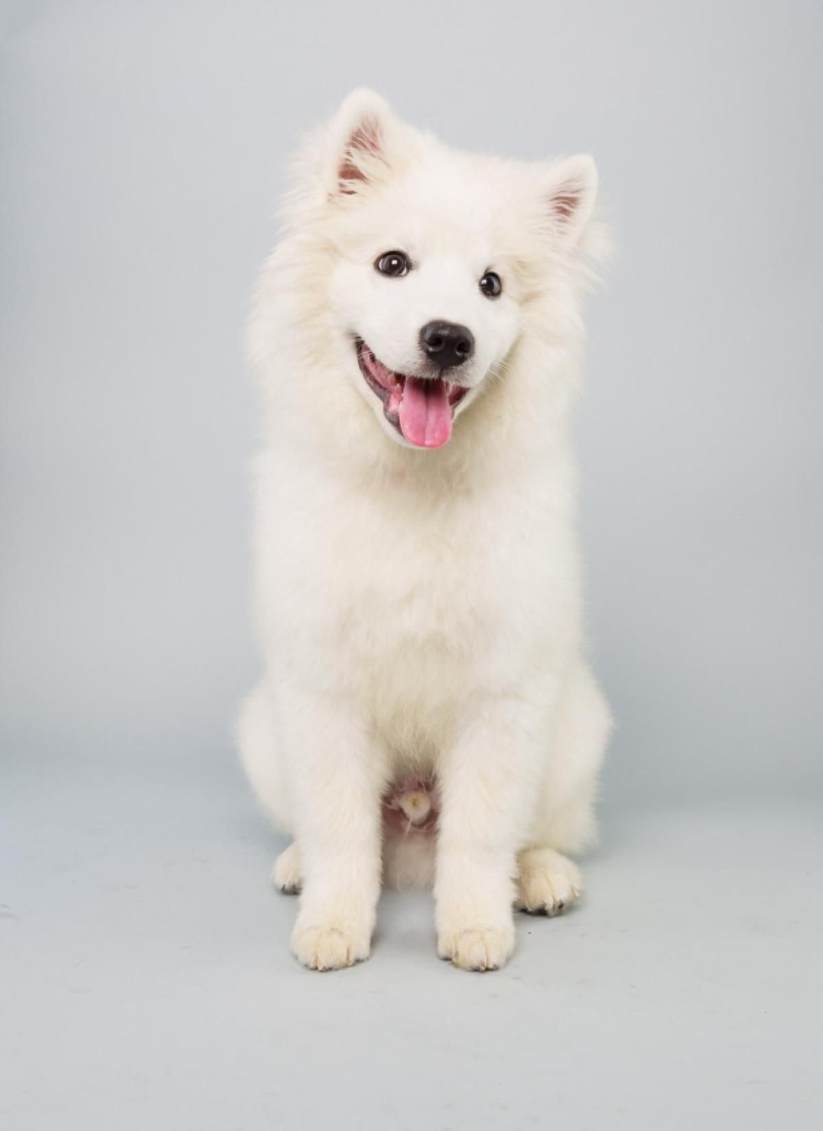 Brody, a 15-week-old American Eskimo dog, doesn't have to worry about cold weather during the Puppy Bowl. He has his own winter coat!