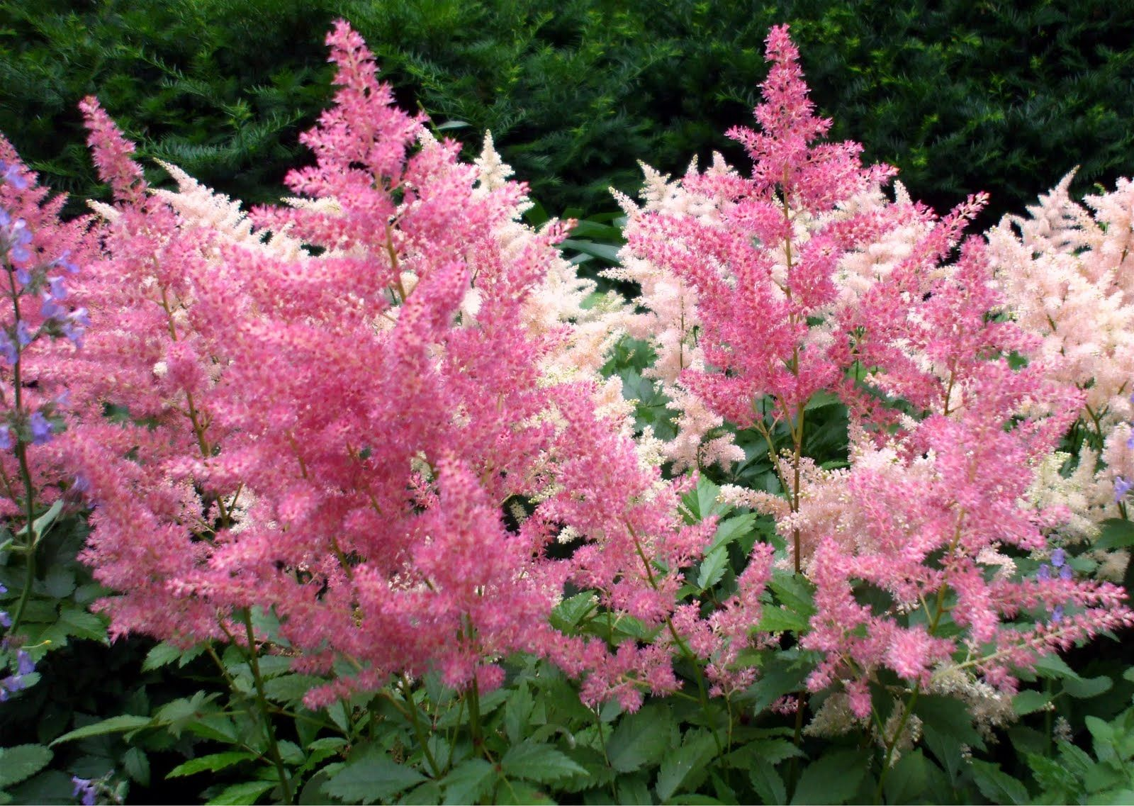 Pin By Vikka Hawl On Touched By The Blossom Astilbe Astilbe Flower White Flower Farm