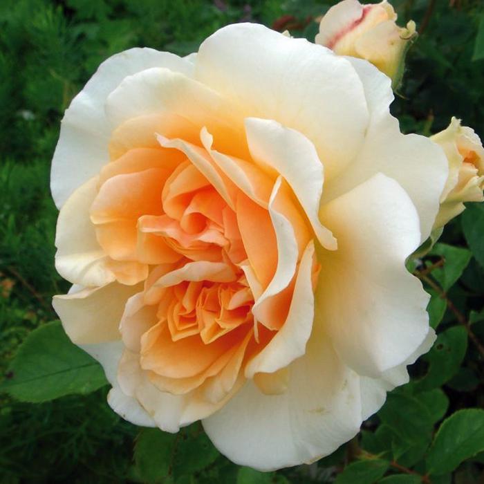 flora linnea rosor