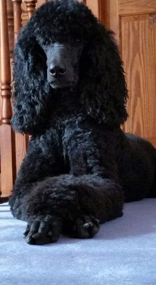 Eden 2 5 Years Dogs Black Standard Poodle Poodle Grooming Poodle