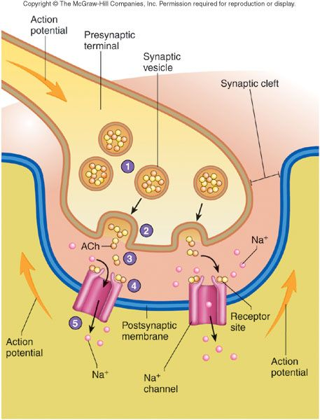 Neurotransmission process step by step google search school neurotransmission process step by step google search ccuart Gallery