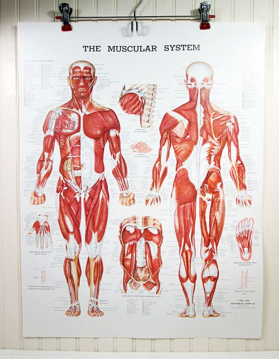Vintage Human Anatomy Poster Muscular System 20 X 26 Muscles Color Illustration Anatomical Chart Co