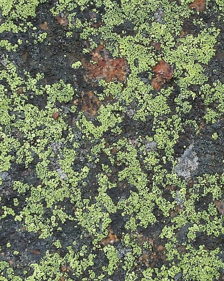 Lichen on rock rocky mountain nationalpark colorado colorado lichen on rock rocky mountain nationalpark colorado sciox Image collections