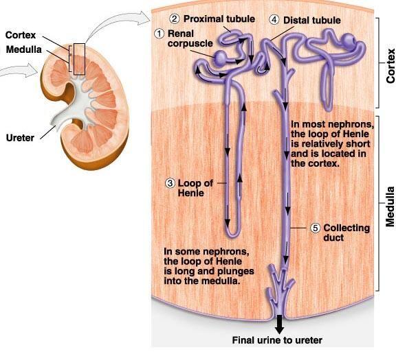 Anatomía renal | Urología, nefrología y temas del riñón | Pinterest ...