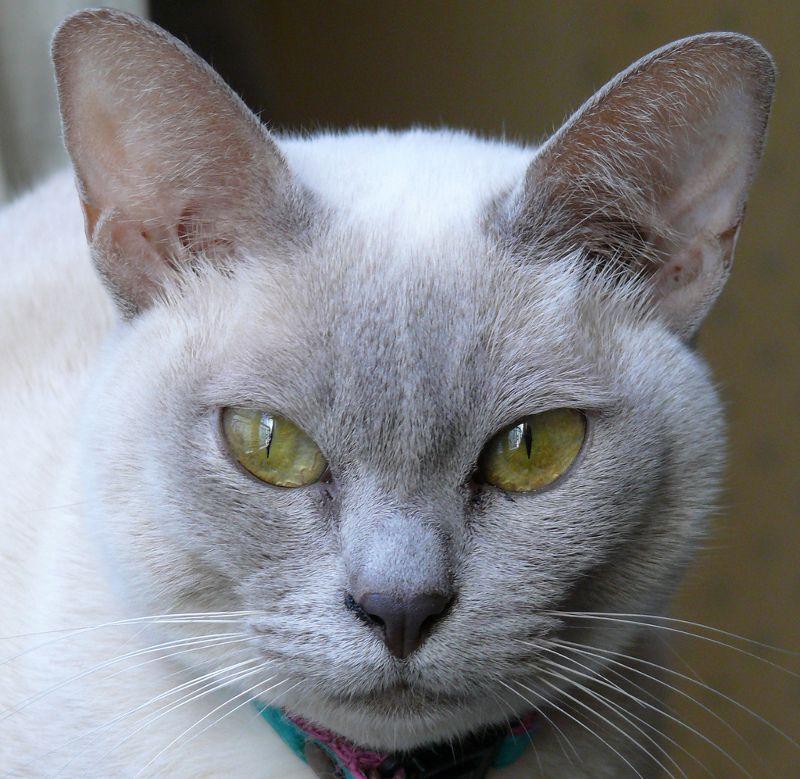 Tonkinese green eyes...... Tonkinese kittens, Tonkinese