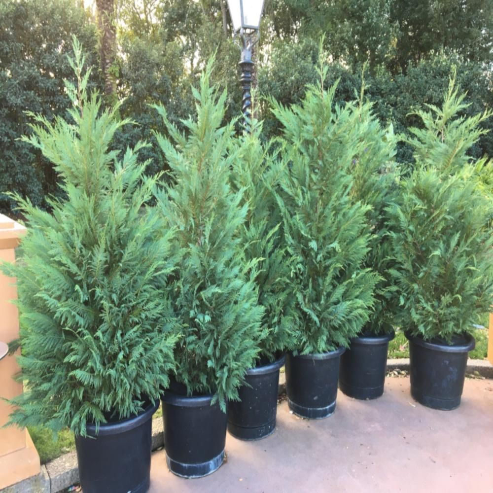 OnlinePlantCenter 3 Gal. Leyland Cypress Evergreen Shrub-C940G3 - The Home Depot