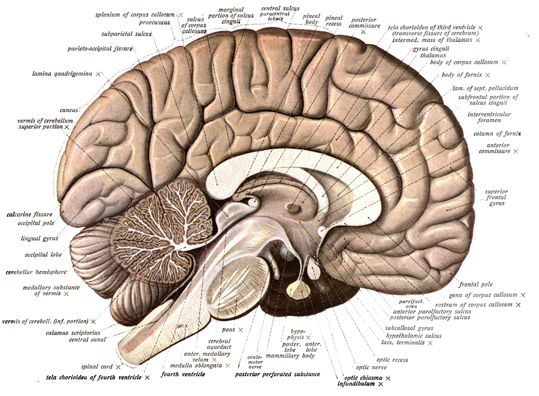 Anatomy of the head and brain