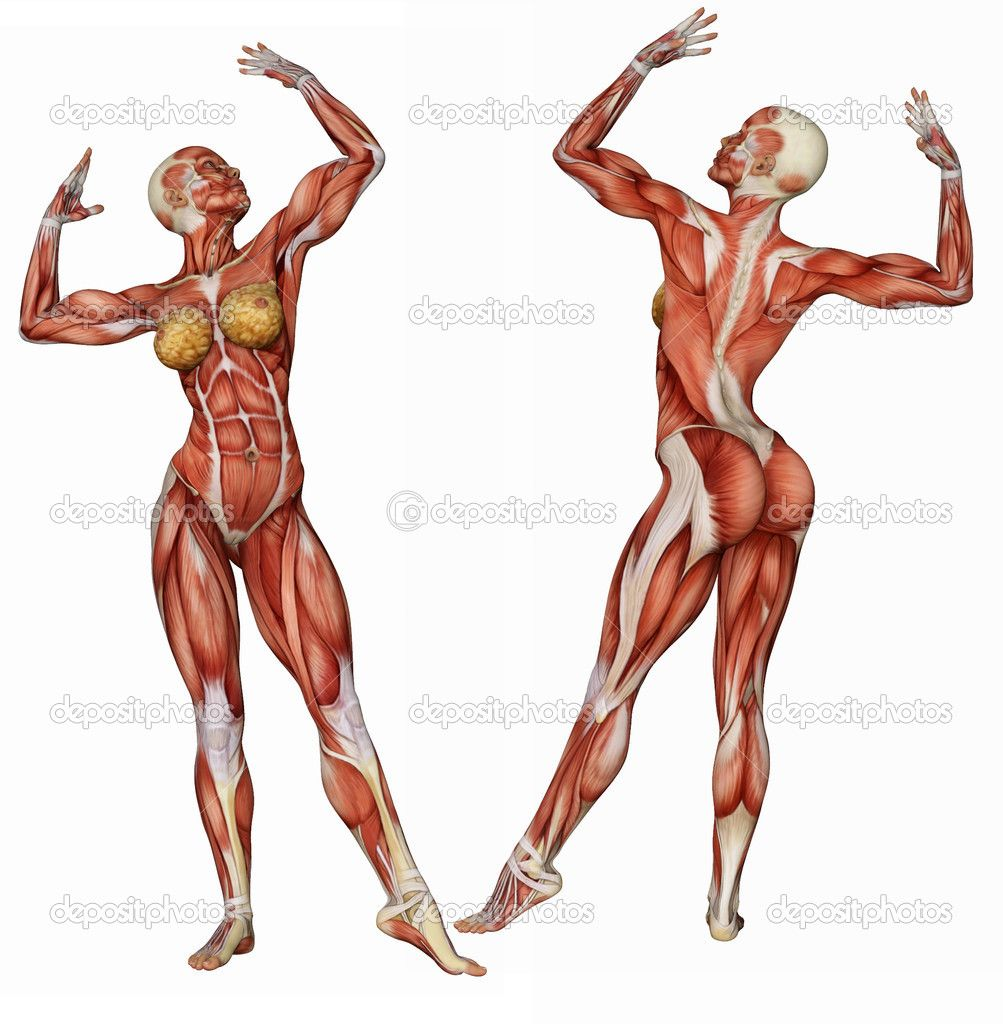 depositphotos_16983907-female-bodys-muscle-structure-in (1003, Muscles