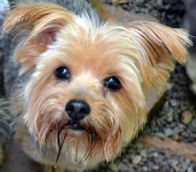 Jewels Is An Adoptable Yorkshire Terrier Yorkie Dog In Greensboro Nc To Pursue This Adoption You Must First Comp Yorkshire Terrier Top 10 Dog Breeds Terrier
