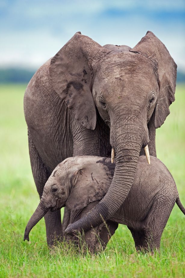 BBC's Nicky Campbell: Elephants could be poached to EXTINCTION in ...