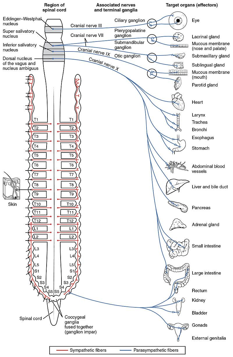 By OpenStax College - Anatomy & Physiology, Connexions Web site ...