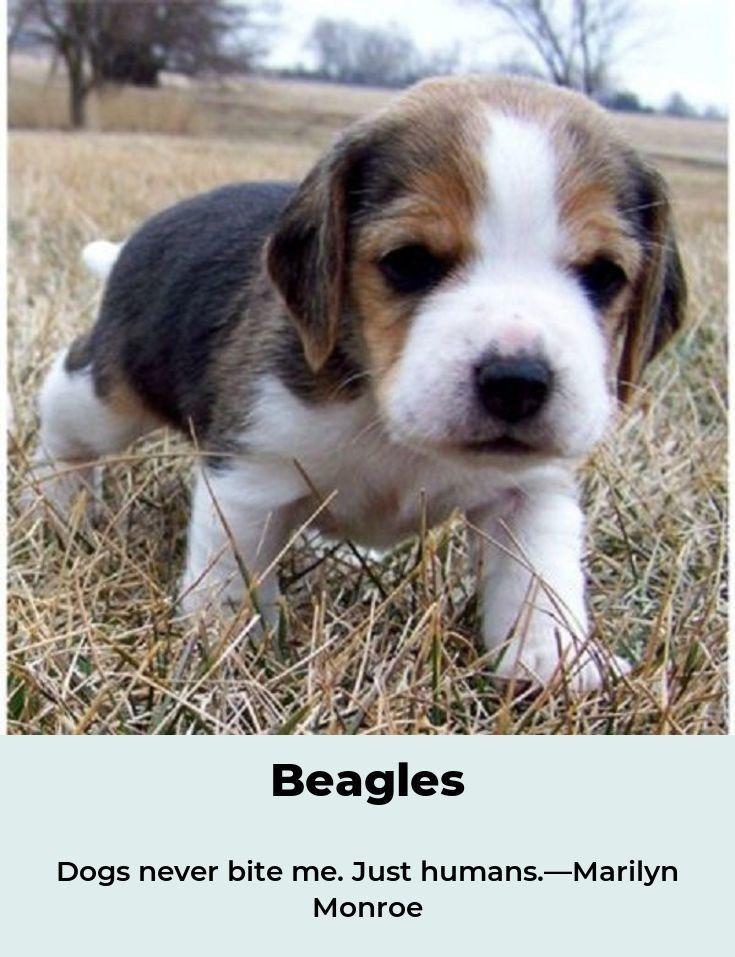 Beagles Forever Beaglelove Beagles Colors Beagle Beagle