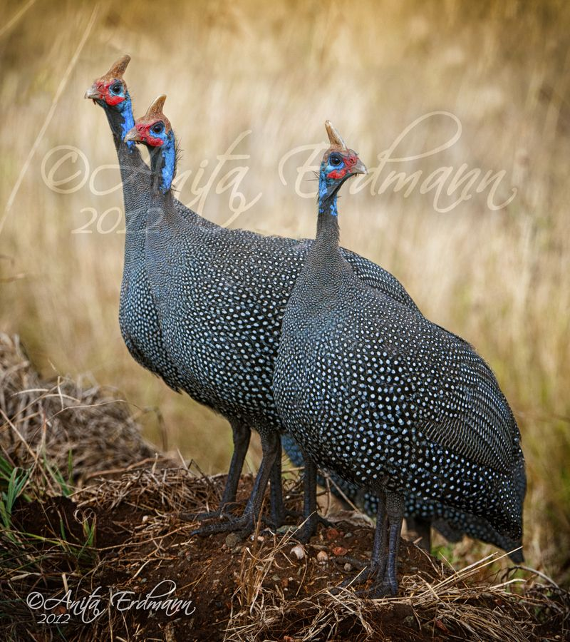 Guinea Fowl Home Decor