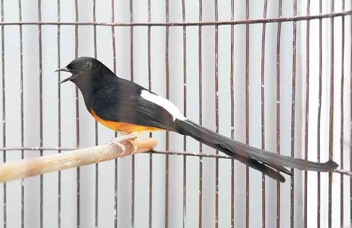 Download Koleksi Suara Burung Murai Mp3 Untuk Masteran Pancingan Burung Murai Suara