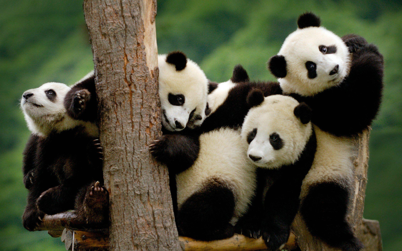 Cute Baby Panda Bear Photo Free Download Free Wallpaper Party