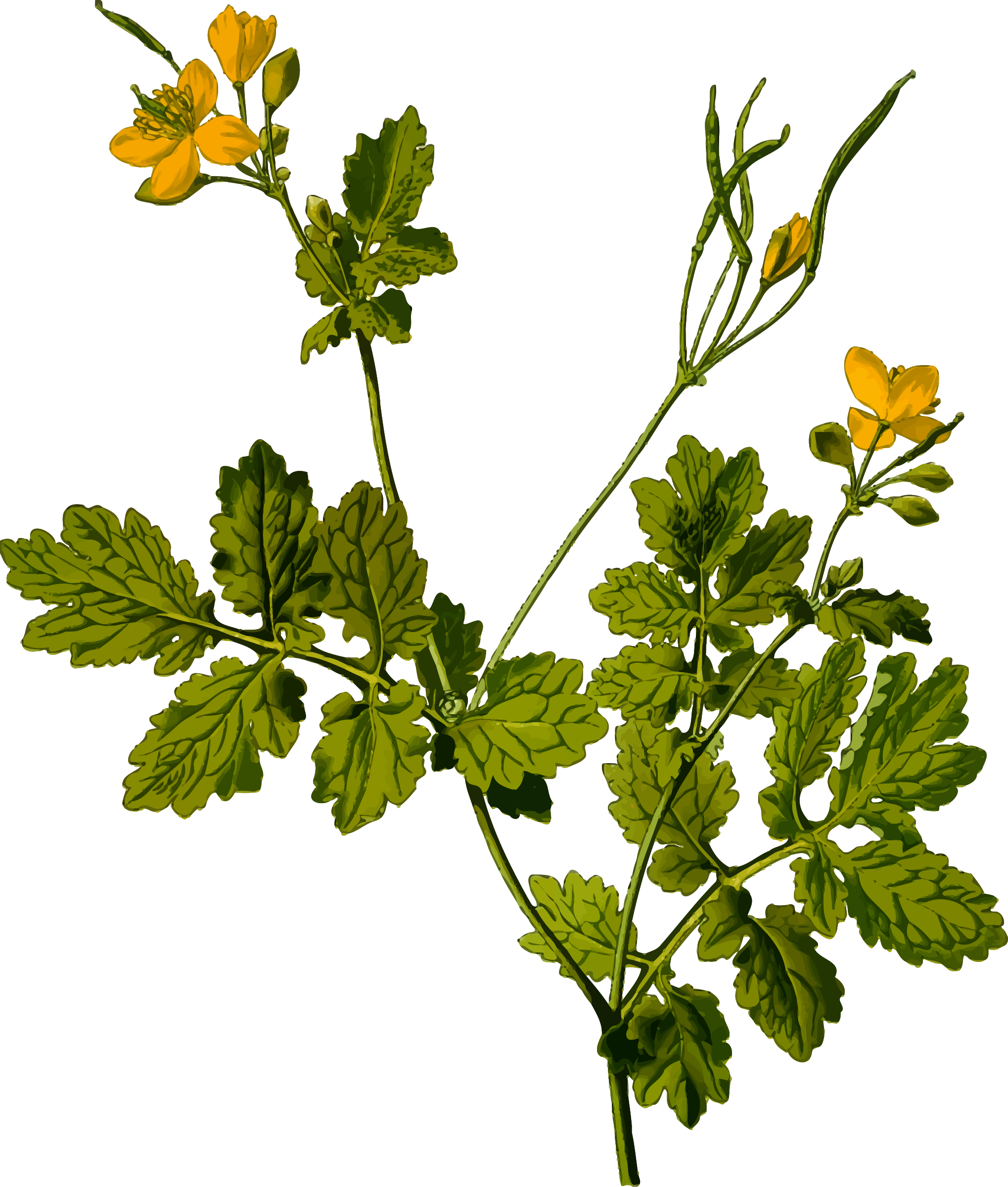Greater celandine detailed by firkin from a drawing in