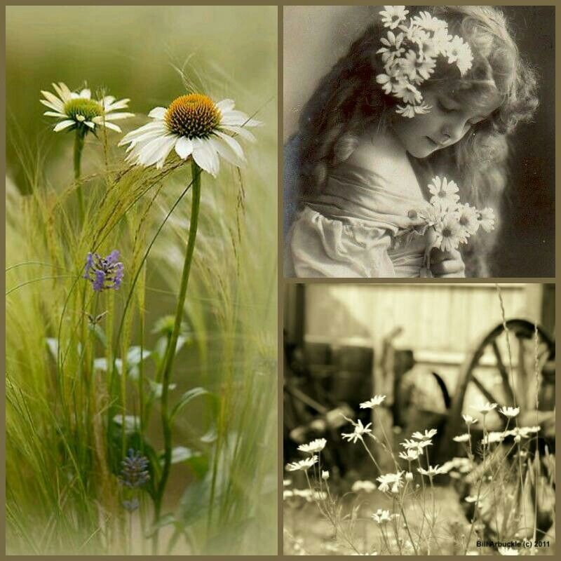 Daisies Collage by Judy Waits