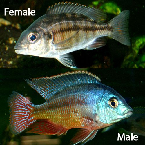 Red Empress Protomelas Taeniolatus Small Juvenile African Cichlid Aquarium Tropical Fish Aquarium Cichlids